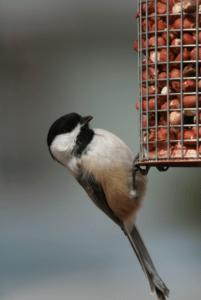 Black-capped Chickadee -FCAS file photo
