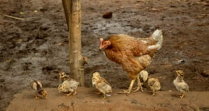 Hen_with_chicks,_Raisen_district,_MP,_India